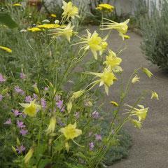 ancolie jaune -  semis ou division - terre ordinaire soleil ou mi-ombre  fl. mai juin - durée vie vis 5 ans