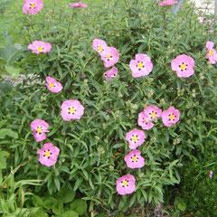 cyste - bouturage marcottage en été terre - très pauvre et caillouteuse plein soleil  -fl. juin à août résiste aux embruns