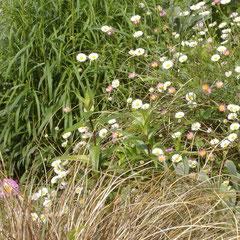 érigéron- division des touffes ou semis terre ordinaire soleil fl. mai - rabattre au printemps