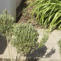 romarin rosmarinus  - bouturage en été - terre légère bien drainée en hiver - fl. juin - se taille facilement