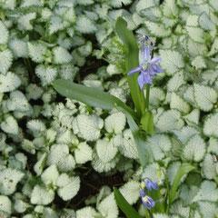 lamier tacheté white Nancy - bouturage printemps autonme - sol humifère frais ombragé - plante de sous bois pour le feuillage
