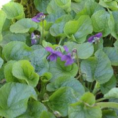 violette -  séparation des rejets au printemps - terre ordinaire mi-ombre - fl.février