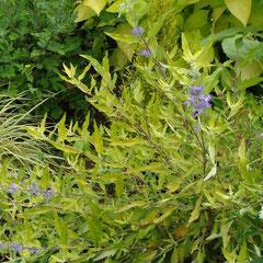 caryoptéris doré -  bouturage au printemps ou en été terre ordinaire plutôt caillouteuse soleil fl. août septembre octobre