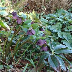 hellebore rose - division des touffes en septembre ou semis terre très riche en humus (terreau de feuille et tourbe) mi-ombre fl. mars