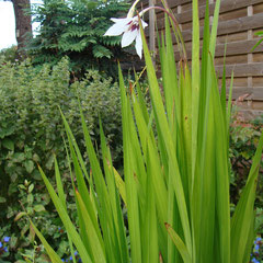 glaïeul d' abyssinie acidanthera murielae -  bulbes en pot plein soleil - fl. parfumée août septembre -  à rentrer l'hiver