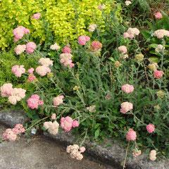 achillée rose - division des touffes -sol ordinaire ensoleillée - fl. juin juillet coupez les fleurs fanées à la base