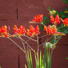 crocosmia lucifer - sol  perméable riche sec - fl. juin septembre -  à protéger du froid