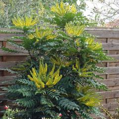 mahonia bealii buckland persistant - bouturage été  - terre quelconque toute exposition - fl. janvier à mai