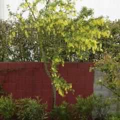 cytise - replantez les rejets - terre ordinaire fl. avril