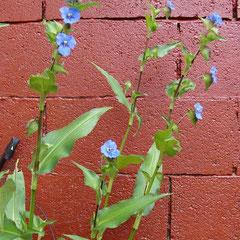 commeline fleur bleue - tubercules terre ordinaire chaude - fl.août fleur bleue gentiane
