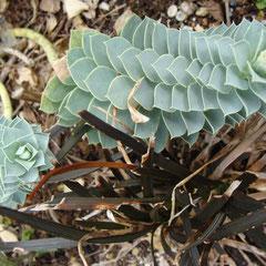 euphorbe myrsinites  - terre caillouteuseensoleillée - attention les graines et liquide blanc à la cassure  est toxique son contact déclenche des irritations -  il est dangereux pour les YEUX