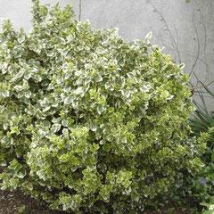 fusain bicolore blanc - bouturage en été terre ordinaire bien bêchée - feuillage persistant