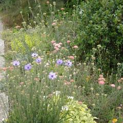 bleuet - semer en place - tout sol sec au soleil - fl.juin, juillet