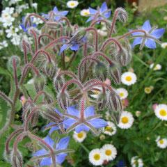 bourrache - plante annuelle officinale, mellifère - fl. juin juillet