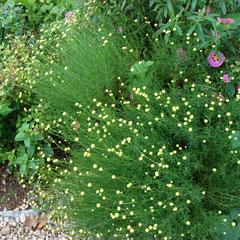 santoline verte - bouturage en été - terre ordinaire - f; juin juillet
