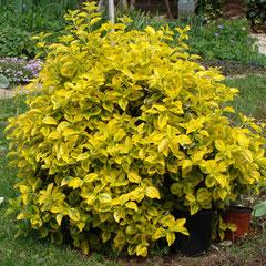 fusain bicolore jaune -  bouturage en été terre ordinaire bien bêchée - feuillage persistant