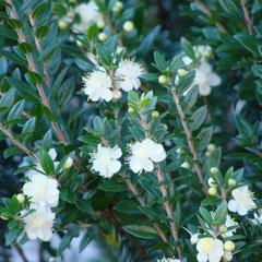 myrtus communis tarentina - bouturage de tiges aoûtées ou marcottage -sol léger, sec, bien drainé - fl. juin à août pte fleurs blanc crème puis baie -  peu se tailler en  topiaire avant la floraison