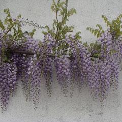 glycine wisteria sinensis