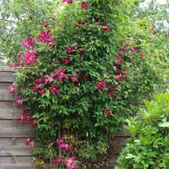 clématite viticella Mme julia Coreyvon - marcottage en été - terre riche en humus légère mi-ombre et soleil - fl.mai