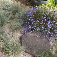 fétuque bleue f.ovina glauca -  division des touffes au printemps terre ordinaire au soleil même sèche -  epis
