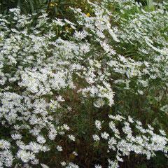 Aster datshii - division des souches à replanter dans un autre endroit -soleil mi ombre - fl. octobre novembre fl;