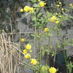 le kerria -  bouture en été division des touffes au printemps - tout sol soleil ou mi-ombre - fl. avril