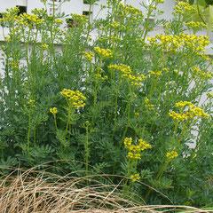 rue - semis spontané -  terre ordinaire, perméable, ou caillouteuse sèche - fl. avril mai - retaillez légèrement la touffe après la floraison