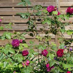 rosier anglais othello foncé carmin  2m - bouturage après la floraison  - fl.  mai aux gelées