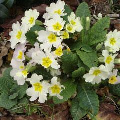 primevère sauvage - division des touffes après la floraison -terre ordinaire fraiche mi-ombre - fl. février