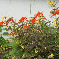 crocosmia - bulbes - tirer sur les nouvelles pousses replanter  - sol lperméable riche sec - fl.juin septembre   ensoleillé fl.