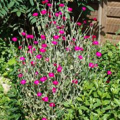 lychnis coronaria - semis  naturel - terre calcaire bien drainée ensoleillée - fl. mai à octobre