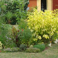 cornus alba aurea - bouturage de bois sec en hiver - ordinaire mi-ombre et soleil -  feuillage doré l'été - bois rouge l'hiver - taillez court au printemps