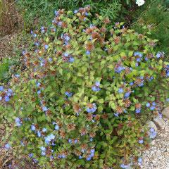 dentelaire plumbago larpentae - division des touffes au printemps - sol plutôt sec - fl. août sep oct