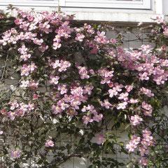 clématite pin fantasy montana -marcottage en été  - terre riche en humus et légère - fl. mars