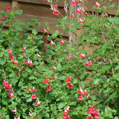 sauge red lip - marcottage pendant la période de pousse -  tous types de sol s'il est bien drainé - soleil mi-ombre - fl.  couper à 30-40 cm du sol.