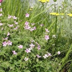 géranium vivace rose - division des touffes au printemps terre ordinaire ensoleillé fl. juin juillet