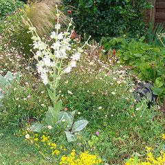 sauge argentée -  semis au printemps - bouturage en été - terre ordinaire bien drainé - fl. juillet - déteste l'humidité l'hiver très capricieuse