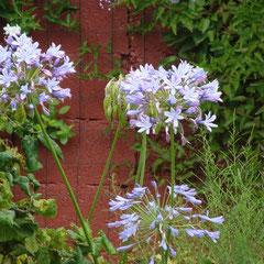 agapanthe - racines tubéreuses - sol riche et léger mi-ombre à ensoleillé-fl. juillet à octobre craind le gel