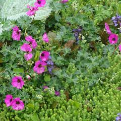 géranium sanguineum vivace -  division des touffes après la floraison - terre ordinaire-fl. mai juin