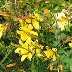 hémérocalle citrina -  division des touffes au printemps mais laissez -les en place au moins 3 ans - sol riche frais ensoleillé - fl. juillet août