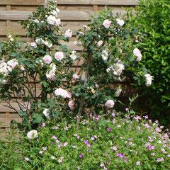 rosier cuisse de nymphe émue -  bouturage après la floraison 1,80 m  - terre ordinaire - fl. mai 15 à 20 jours maximum