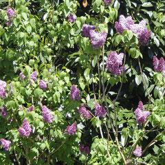 lilas - penser chaque année à couper la moitié des branches