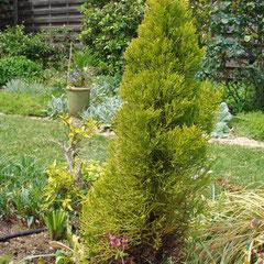Cupressus Macrocarpa 'Goldcrest Cyprès de Lambert doré - grand arbre que j'ai maintenu de petite taille en le plantant dans son pot