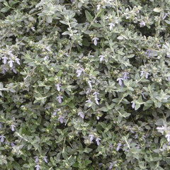 teucrium -  bouturage en été  - terre ordinaire - petite floraison avril - peut se tailler