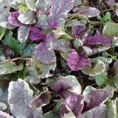 bugle - couvre sol  replantez les rejets - tout sol soleil mi-ombre  - fl. mai