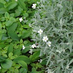 céraiste ou oreille de souris vivace  - division des rhizomes en juillet - sol quelconque pauvre bien drainé - fl. nectarifère mai à fin juillet