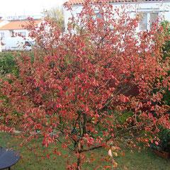 améchanchier en automne