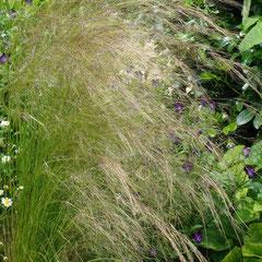 stipa cheveux d'ange nasella tenuissima  - semis spontané -  terre ordinaire bien drainée ensoleillé -  graminée  - attention à l'humidité