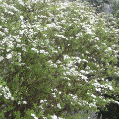 spirée - tirez sur les rejets après la floraison - tout sol ensoleillé - fl. avril à fuillet