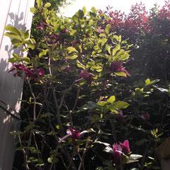 紫木蓮 4mぐらいになり毎年良く咲きます。